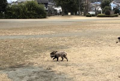 2018.1.8歩くタヌキ
