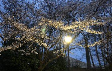 2019.4.3 夜桜