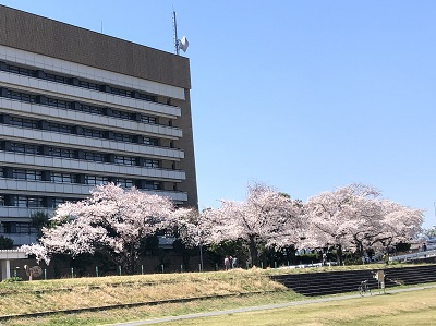 2019.4.4 八王子市役所の桜