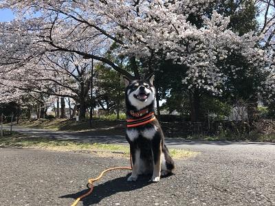 2019.4.4 桜お福の笑顔