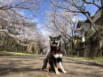2019.4.7 桜と愛犬