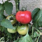 2019.6.26 真っ赤なトマト