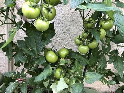 2019.6.26 トマト