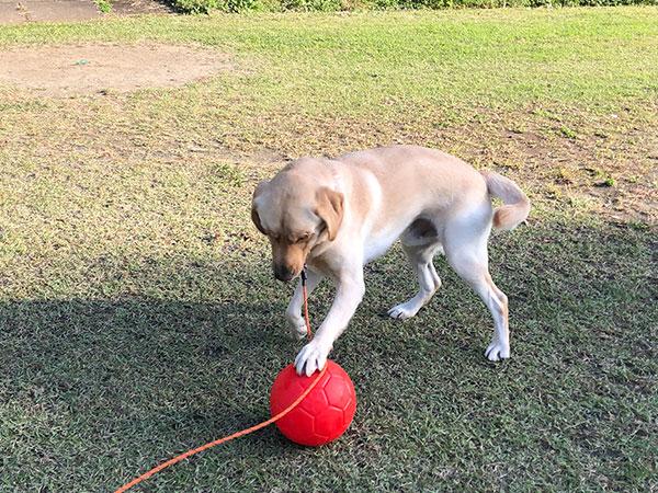 ボール遊び 犬の運動