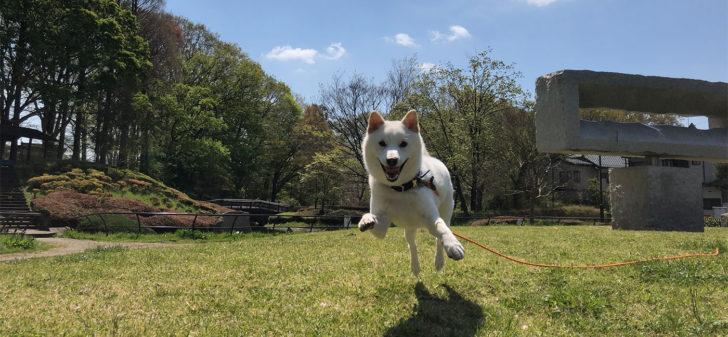 ぷくぷくのドッグトレーニング 楽しく走る犬