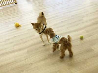2020.2.5 犬の幼稚園 柴犬 トイプードル