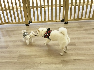 2020.2.5 犬の幼稚園 柴犬 マルチーズ