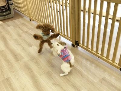 2020.2.5 犬の幼稚園 犬の遊び