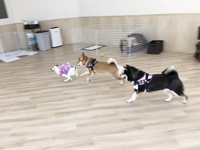 2020.2.5 犬の幼稚園 3頭犬の遊び