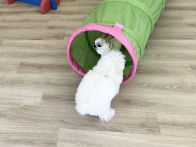 2020.2.7 犬の幼稚園 トンネルの中でご挨拶