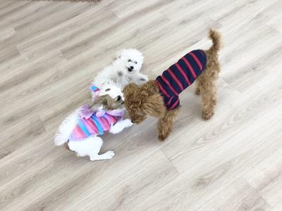 2020.2.7 犬の幼稚園 犬同士の遊び