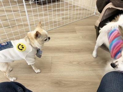 2020.2.7 犬の幼稚園 チワワ パピヨン