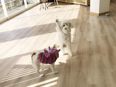2020.2.7 犬の幼稚園 パピヨン トイプードル