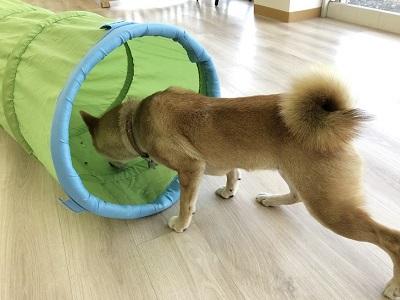 2020.2.10 犬の幼稚園 柴犬 トンネル