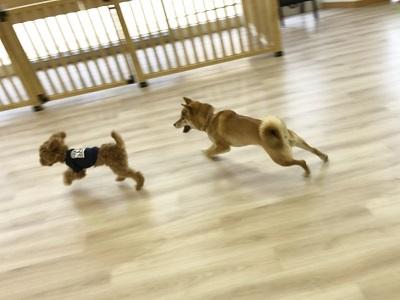2020.2.10 犬の幼稚園 柴犬 トイプードル