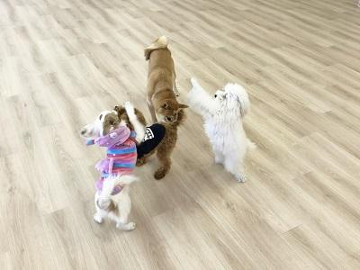 2020.2.10 犬の幼稚園 犬同士の遊び