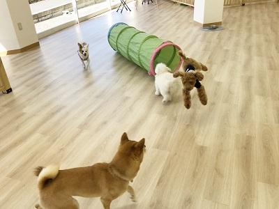 2020.2.10 犬の幼稚園 アロハ君飛んでる
