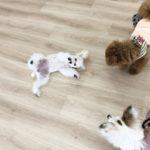 2020.2.17 犬同士の遊び