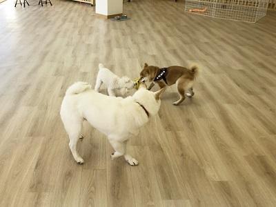 2020.2.19 犬の幼稚園 犬同士の遊び