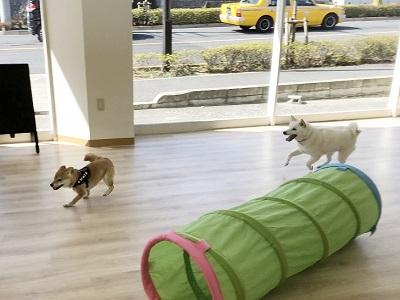 2020.2.19 犬の幼稚園 追いかけっこ