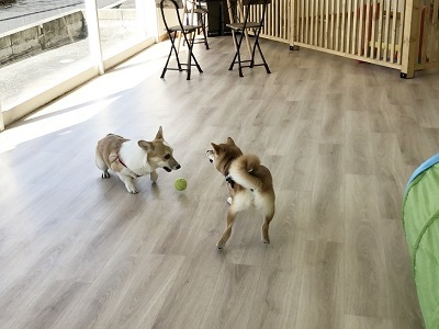 2020.2.19 犬の幼稚園 激しい遊び