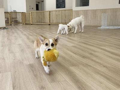 2020.2.19 犬の幼稚園 もってこい遊び