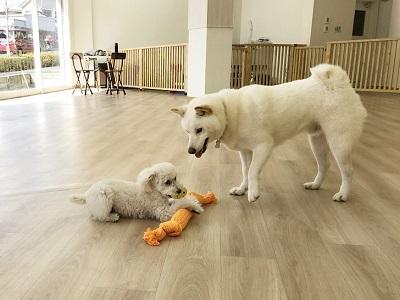 2020.2.19 犬の幼稚園 トイプードル 柴犬