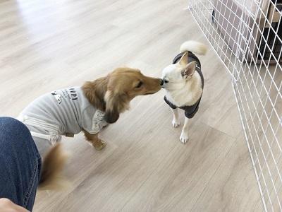 2020.2.21 犬の幼稚園 チワワ ダックス
