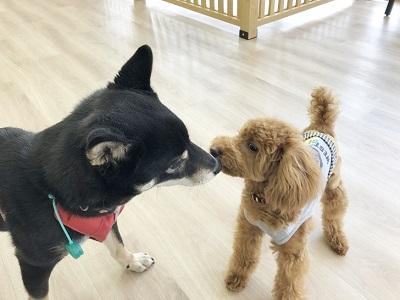 2020.2.21 犬の幼稚園 柴犬 トイプードル