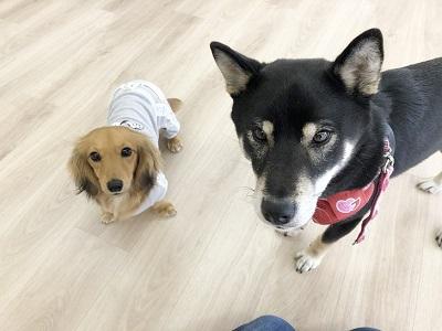 2020.2.21 犬の幼稚園 柴犬 ダックス