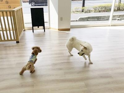 2020.2.21 犬の幼稚園 犬同士の遊び