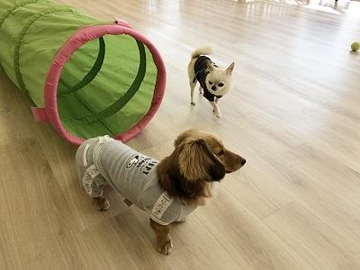 2020.2.21 犬の幼稚園 トンネル