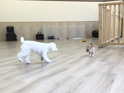 2020.2.24 犬の幼稚園トイプードル チワワ