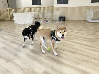 2020.2.5 犬の幼稚園 柴犬