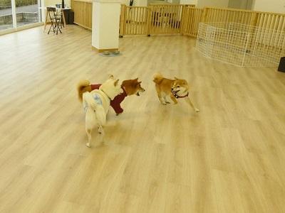 犬の幼稚園 柴犬3頭
