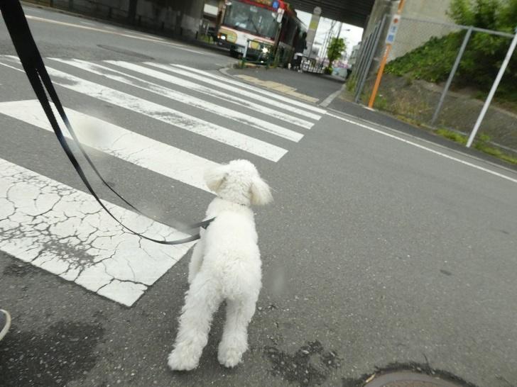 ゆずちゃん お散歩
